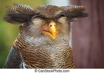 Owl portrait close up of funny face - Owl portrait, close up...