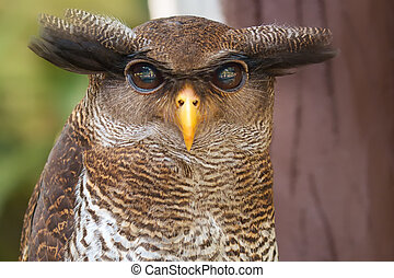 Owl portrait, close up of yellow eyes