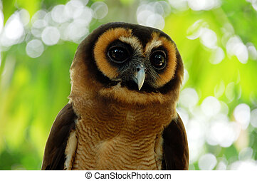 Owl - Portrait of a cute owl in tropical forest