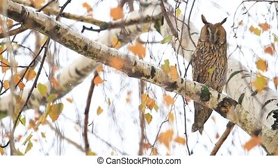 owl sits among colored birch leaves, wildlife, animals in...