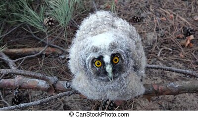 Owl spreads its big gray wings and wants to fly away - Owl...