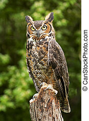 Owl - Portrait of a great horned Owl Bubo viriginianus