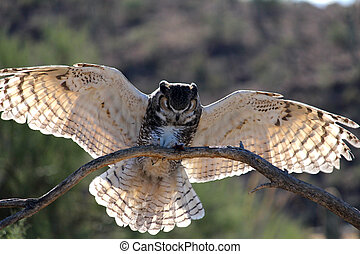 Owl coming in for landing