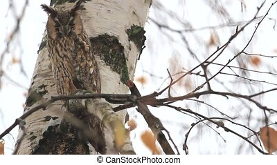 owl with big eyes sitting among the birch branches,...