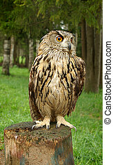 Owl with large orange eyes