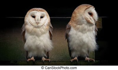Owls On Perch Outside Old Barn - Couple of barn owl owls on...