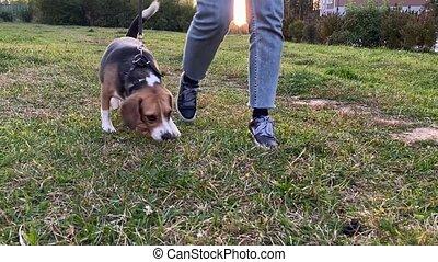 owner., elle, chien, beagle, mignon, extérieur, femme