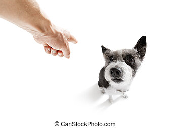 owner punishing his dog - poodle dog being punished by owner...