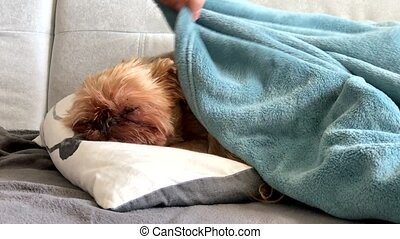Owner strokes and covers with a blanket a sleeping dog breed...