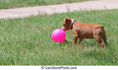 Owners playing ball with a funny puppy dog