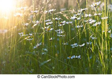 Ox eye daisies on a summer meadow