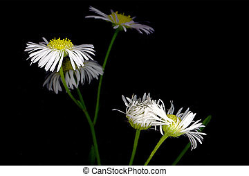 Ox-Eye Daisy - black and white ox-eye daisy and a simple...