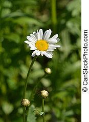 Ox-eye daisy?