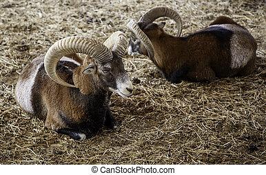 Ox in a farm