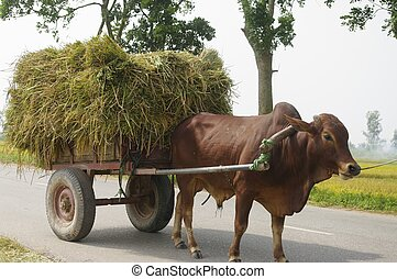 Ox yoked to the cart laden with sheaves of rice - A typical...