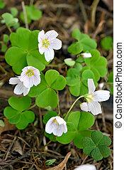 Oxalis acetosella flowers - Oxalis acetosella (wood sorrel) ...