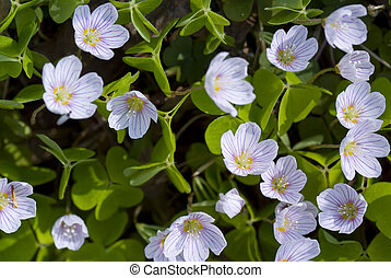 oxalis acetosella - small flower grows in forest on ...