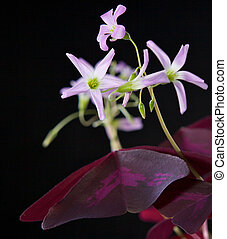 oxalis flowers and leaves on the blac background