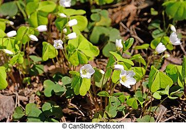 Oxalis flowers in the forest