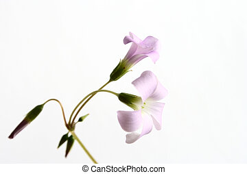 oxalis flowers - two oxalis flower and sprouts on white ...