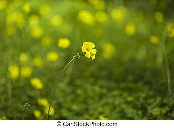 Oxalis pes-caprae background - Oxalis pes-caprae natural ...