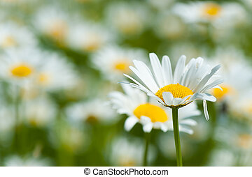 Oxe eye daisy flowers in spring