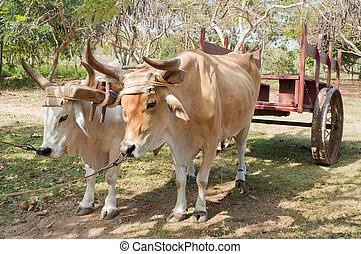 Oxen in Cuban Farm - Two oxen used as a means of transport ...