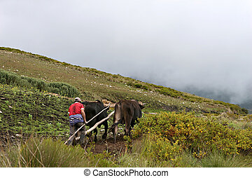 Oxen Plow - A Peruvian farmer uses a traditional plow to...