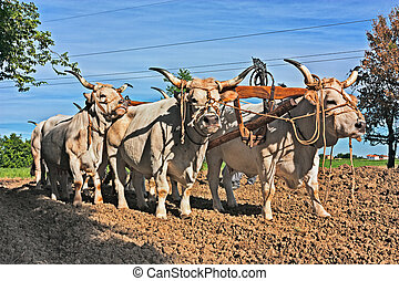 Oxen that pull the plow - oxen with yoke that pull the plow...