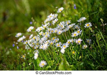 Oxeye daisy flowers, latin name Leucanthemum vulgare.