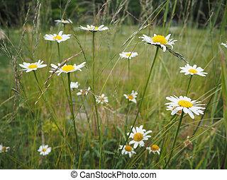 Oxeye daisy (Leucanthemum vulgare) flowers in grass