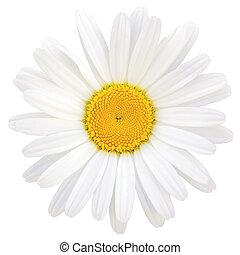 Oxeye Daisy Leucanthemum vulgare Lam. Isolated Macro Closeup