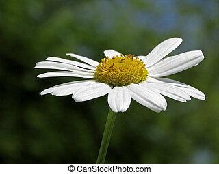 Oxeye daisy, Leucanthemum vulgare, Marguerite