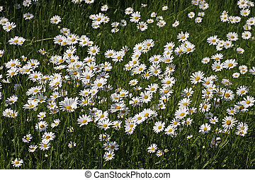 Oxeye daisy, Marguerite, Germany