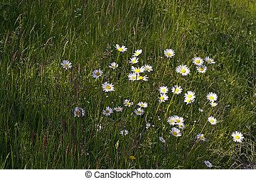 Oxeye daisy, Marguerite