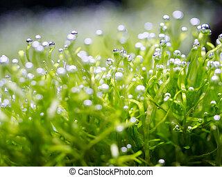 Oxygen bubble on riccia, Riccia is a genus of liverworts in ...