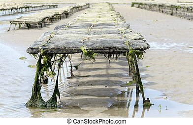 oyster cultur on the fernch coast