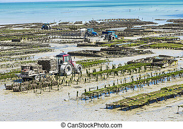 Oyster farming - Growing oysters at low tide at the port of ...