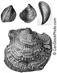 Oyster fossils of the Triassic period, vintage engraving. -...