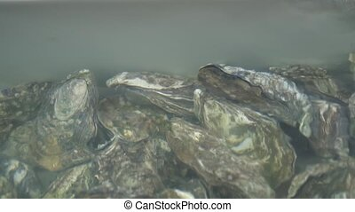 Group of several fresh oysters in clear water. Oysters in...