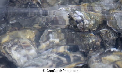 Oyster in water. Group of several fresh oysters in clear...