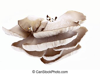 Oyster mushroom lat. Pleurotus ostreatus