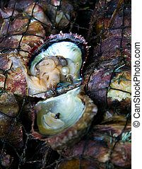 oyster shell with pearl - Pearl in an oyster shell