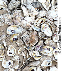 oyster shells laying on beach sand