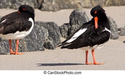 oystercatcher at the beach