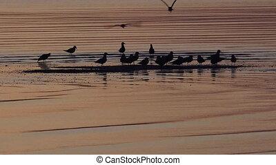 Oystercatchers Water Birds Silhouette in Sunrise light