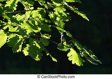 ozdobit iniciálkami, slunit se, listoví, dub, ponurý, bystrý, mladický grafické pozadí, filiálka