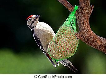 pájaro carpintero, bellied, rojo
