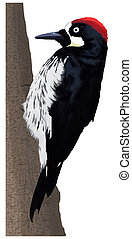 pájaro carpintero, -, bellota, hembra