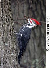 pájaro carpintero de pileated, árbol, pegajoso, lado
